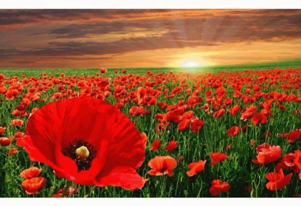 Qu significa la amapola roja y porqu esta flor es smbolo de las
