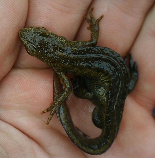 salamandra-de-los-carpatos
